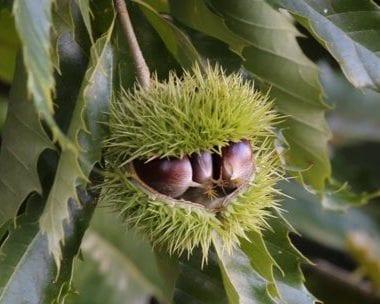 American chestnut burs