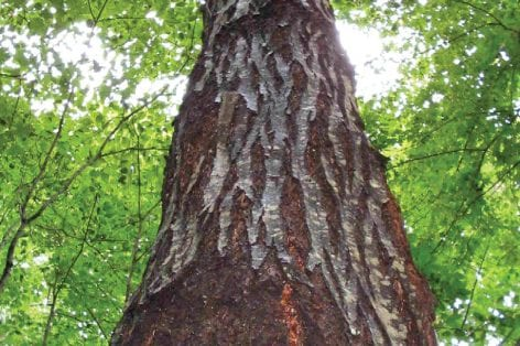 an-american-chestnut-tree-in-jackson-county