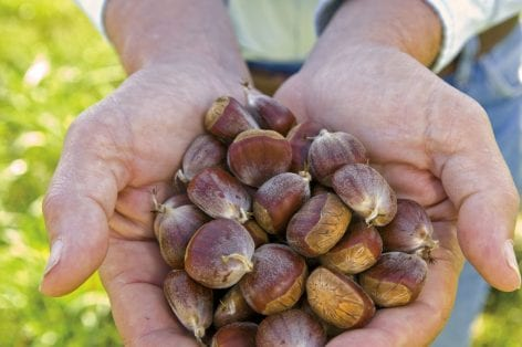 chestnut seeds