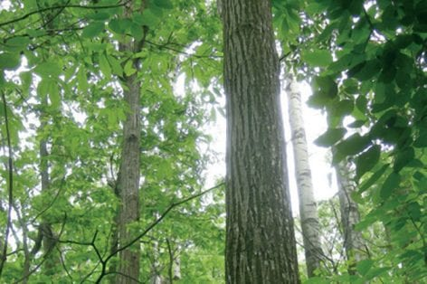 healthy chestnut trees