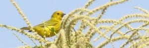 Yellow Warbler perched high in an American chestnut during flowering season