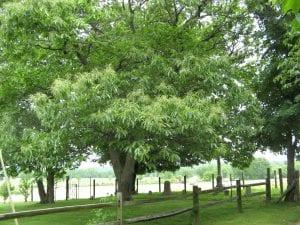 Identifying your Chestnut Tree The American Chestnut Foundation