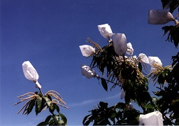 Bagged flowers in controlled pollination.