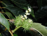 Picture illustrating the female (pistillate) flowers in white. Below them are two fertilized flowers with newly set fruits which have not yet matured to form the characteristic bur and nuts. Early June.