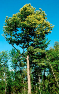 Atkinson Tree – a recent find!