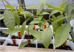Chestnut seedlings