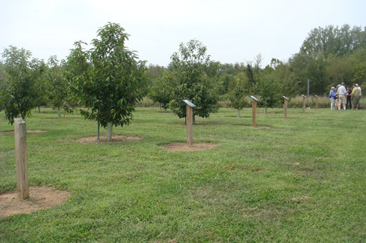 This orchard was founded in 2010, originally as a demonstration orchard, but is now being converted to a mother tree orchard