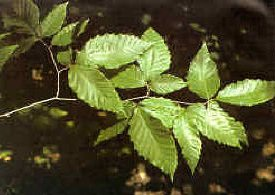 Tree Identification | The American Chestnut Foundation