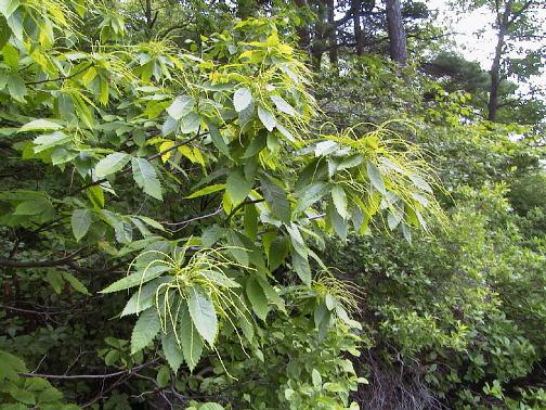 Tree Identification The American Chestnut Foundation