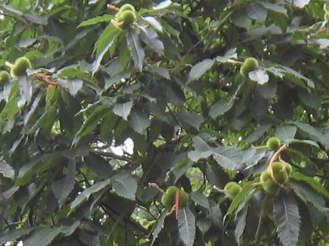 Oregon Chestnut Trees The American Chestnut Foundation