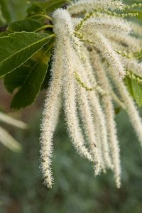 American chestnut catkin, Meadowview Research Farms, VA