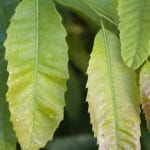 American chestnut leaves, Meadowview Research Farms, VA