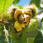 Chestnut Burr, Meadowview Research Farms, VA