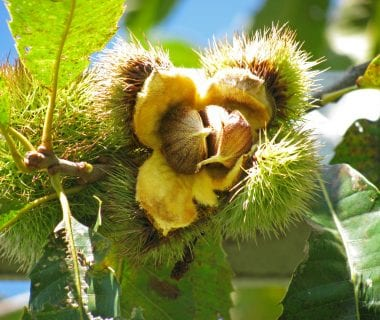 Chestnut Burr, Meadowview Research Farms, VA