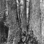 Chestnut Giants, Great Smoky Mountains, Western North Carolina. c.1910. Courtesy of Forest History Society