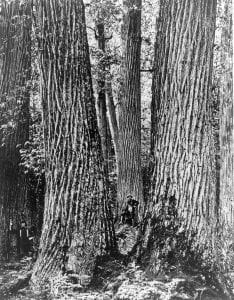 Chestnut Giants, Great Smoky Mountains, Western North Carolina. c.1910. Courtesy of Forest History Society