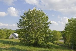 Large American Chestnut, Meadowview Research Farms, VA